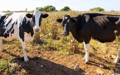 Milk and Meat Production Without the Environmental Impact?