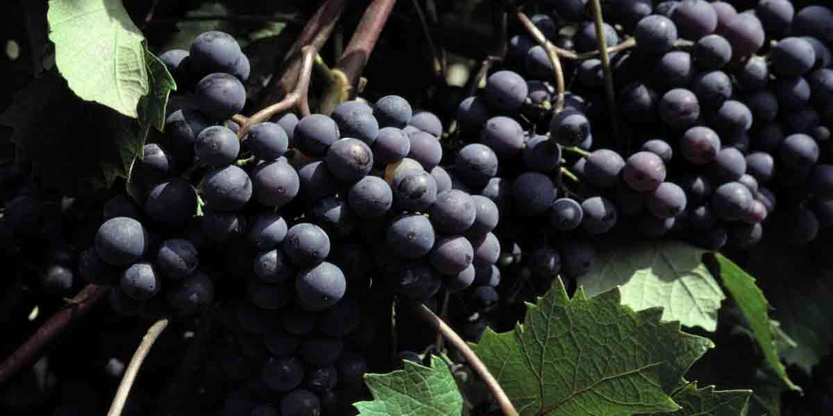 An image of purple grapes on the vine representing the potential use of natural-occuring anthocyanins as food colorants.